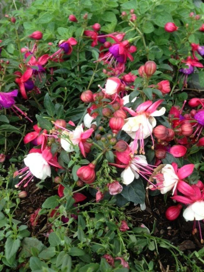 big_24-Fuchsia-Flowers