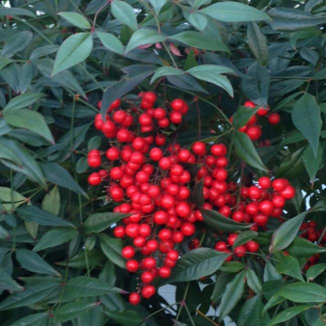 big_523-Anns-Berries