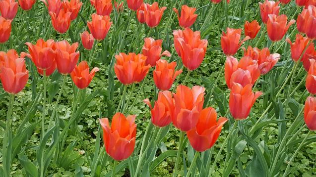 big_686-tulips