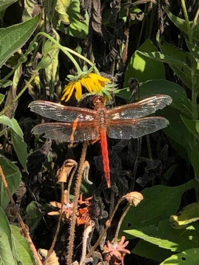 big_737-Dragonfly