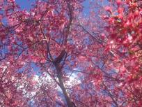thumb_540-Cherry-Blossoms