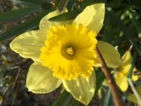 thumb_611-A-Daffodil-for-Chitra