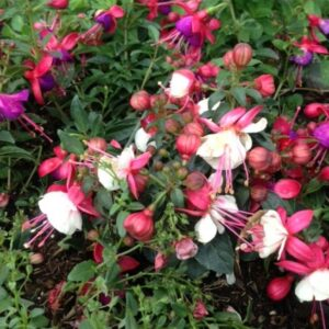 big_24-Fuchsia-Flowers