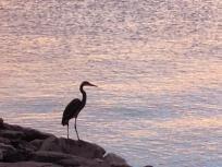 thumb_769-a-Great-Blue-Heron-at-sunrise